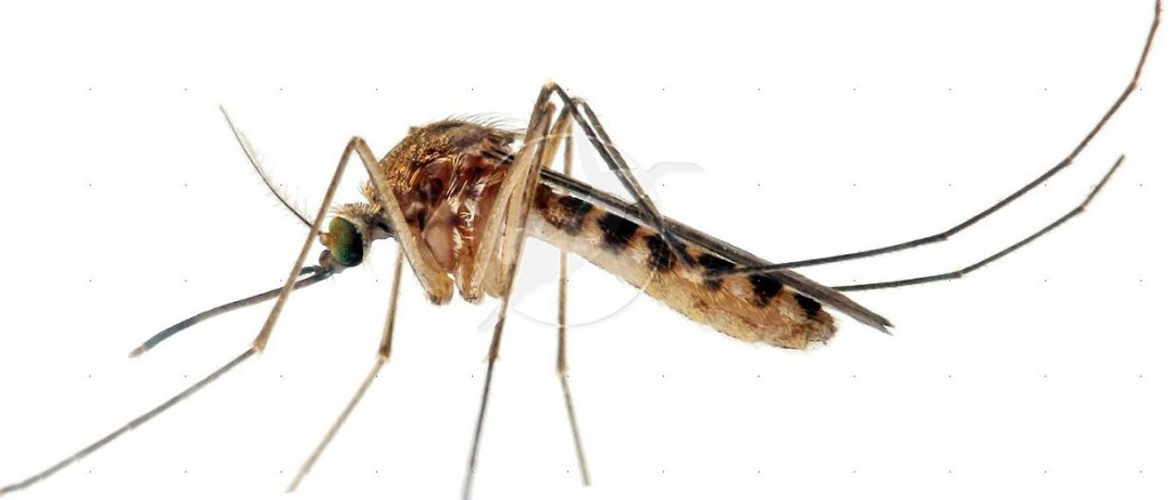 mosquitoes_ziki-virus-affects-pregnant-women-pure-living